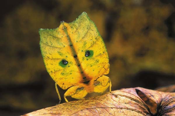 Leaf insects are tiny, adorable masters of disguise.