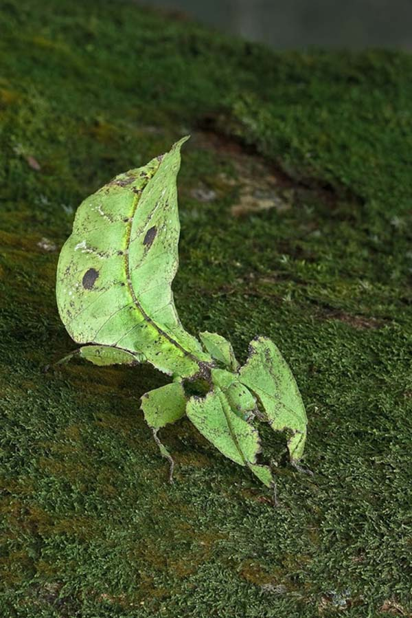 When these critters walk, they even rock back and forth, mimicking the movement of a leaf.