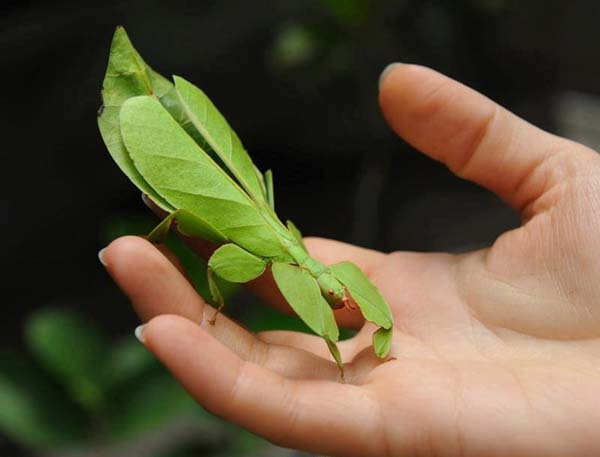 Some species of leaf insect even look like they have bites taken out of their leaves.