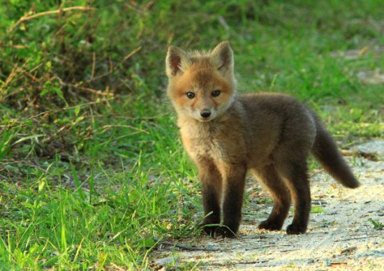 17.) Baby fox is on the hunt.