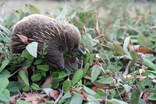 18.) A baby echidna is called a puggle. Because they totally needed to be even cuter.