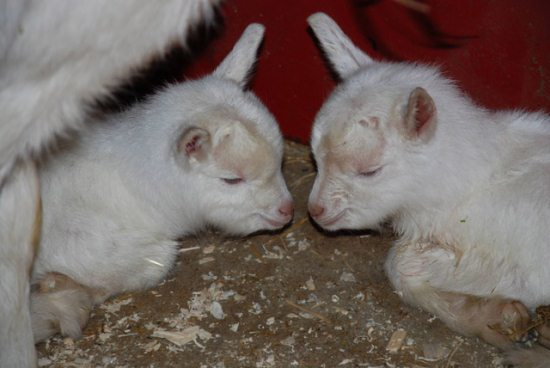 19.) Baby goats contemplating the universe.