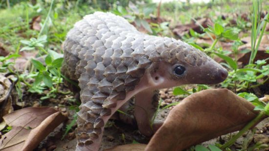 16.) It might not be fluffy, but a baby pangolin sure is cute.
